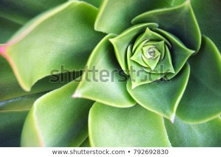 suculento · macro · fresco · suculento · tiro - foto stock © mroz