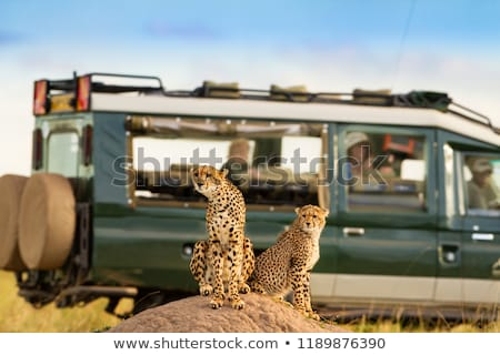 Stok fotoğraf: Lions In Masai Mara National Park