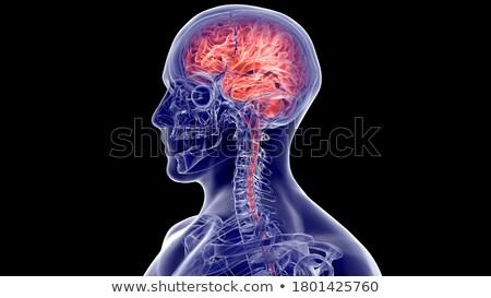 neurônio · nervo · principal · nervoso · sistema · nervoso · corpo - foto stock © bluering