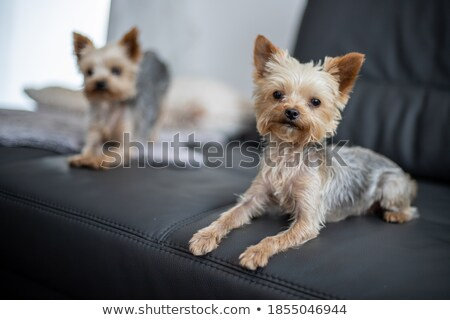 Stock photo: lovely yorkshire terrier relaxing in a studio background