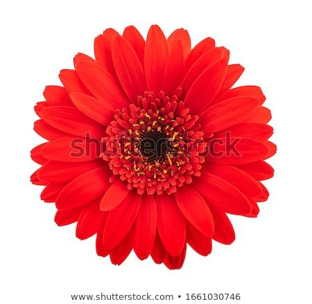 Makro · rot · Gänseblümchen · Wassertropfen · Blütenblätter · extreme - stock foto © hitdelight