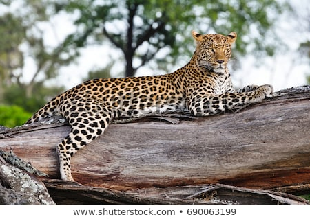 Leopard arbre parc Afrique du Sud nature portrait Photo stock © simoneeman
