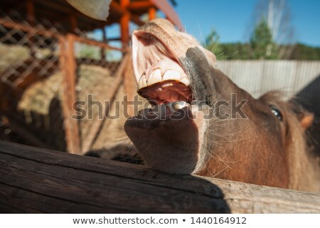 Funny low angle view of grinning horse mouth and teeth Stock photo © stevanovicigor