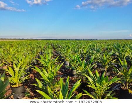 Organiczny Kokosowe zielone liści palmowych niebieski formularza Zdjęcia stock © artjazz