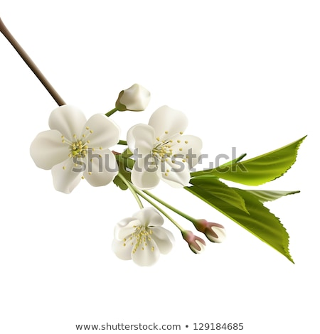 Plum flowers isolated on white Stock photo © vapi