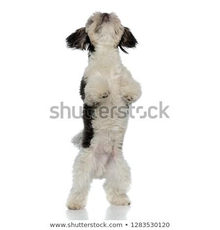 köpek · yavrusu · beyaz · hasta · oynama · evcil · hayvan · sevimli - stok fotoğraf © feedough