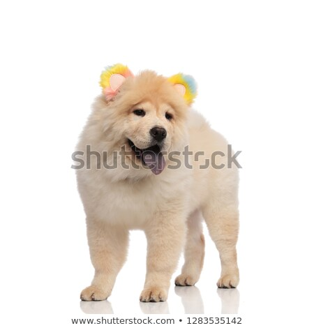 happy chow chow wearing colorful ears headband looks to side Stock photo © feedough