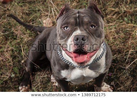 American bully panting and looking up in a field Stock photo © feedough