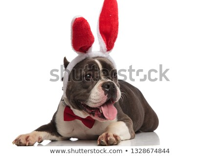 american bully with bowtie and bunny ears looks to side Stock photo © feedough
