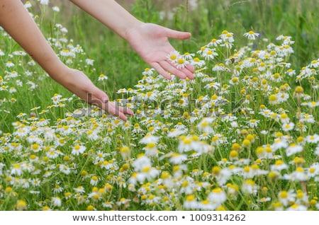 Jardín manzanilla flores superior vista Foto stock © karandaev