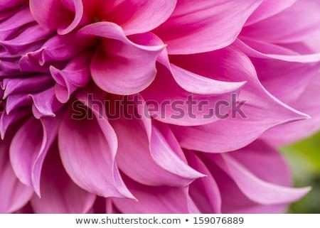 red flower stamen close up  Stock photo © cozyta