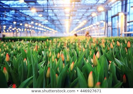 üvegház virágok sekély nyár növény mezőgazdaság Stock fotó © elvinstar
