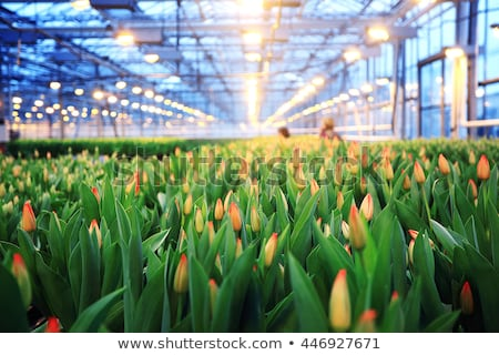campo · serra · crescita · verdura · coperto · plastica - foto d'archivio © elvinstar