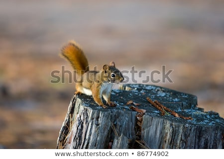 Alert Red Squirrel on Tree Stump Stock photo © mackflix