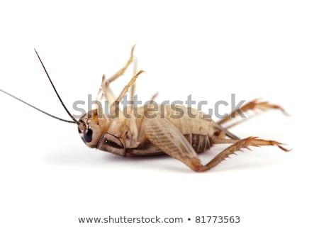 kahverengi · kriket · böcek · yukarı · üst · görmek - stok fotoğraf © macropixel