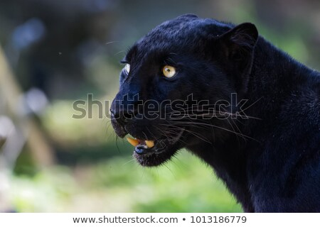 panther and grass Stock photo © mariephoto