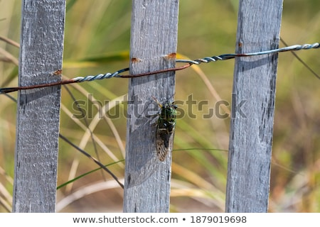 Green Cicada on Wooden Background Stock photo © mroz