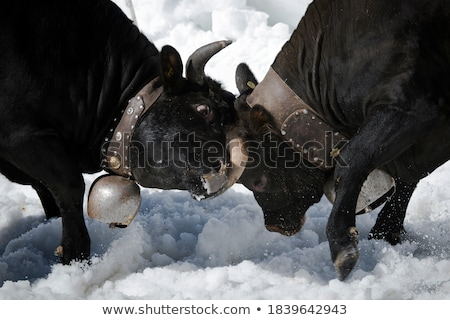 Photo stock: Vache · 16 · herbe · agriculture · production · corne