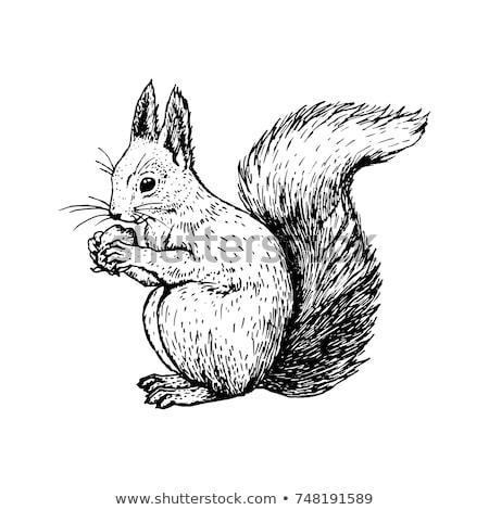 Squirrel drawing Stock photo © mikemcd