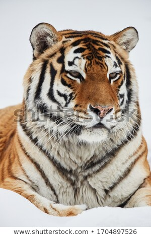 Gatinho tigre suspeita olho Foto stock © Yongkiet