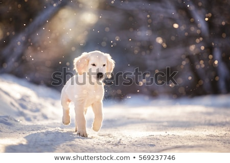 Golden retriever at snowfall Stock photo © simply