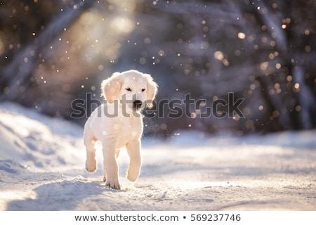 golden retriever at snowfall stock photo © simply