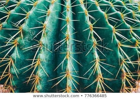 зеленый кактус острый шип подробность небе Сток-фото © meinzahn