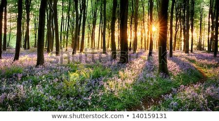Path Through Bluebell Wood Stock photo © paulfleet