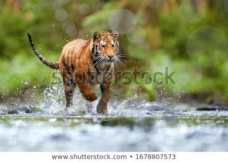 young Siberian tigers  Stock photo © OleksandrO