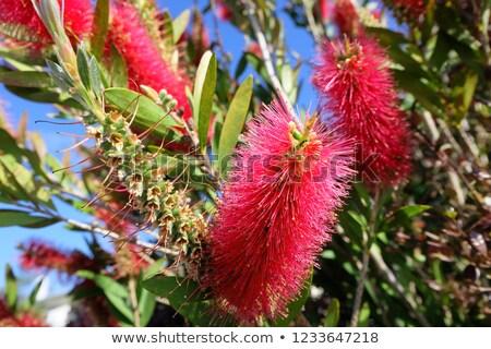 kırmızı · kırmızı · çiçekler · yeşil · yeşillik · yerli · kır · çiçeği - stok fotoğraf © sirylok