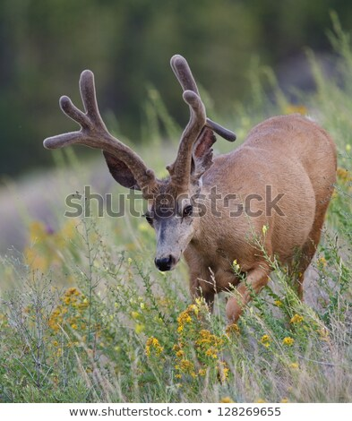 mule deer droppings in rocky mountains stock photo © pixelsaway