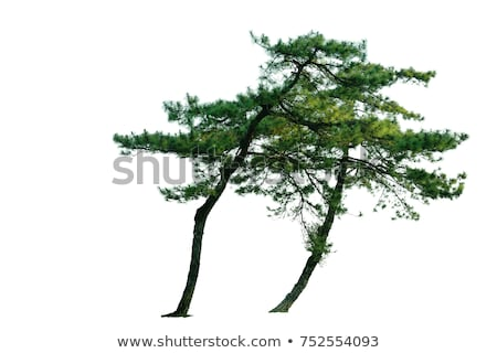 çam ağacı alan ağaç doğa Stok fotoğraf © njnightsky