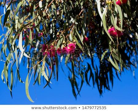 Renkli avustralya sakız ağaç havlama kış Stok fotoğraf © lovleah