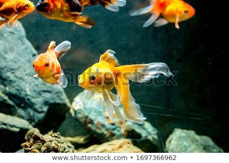 Rouge Goldfish aquarium poissons isolé blanche Photo stock © robuart