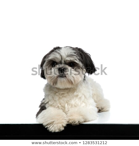 curious shih tzu lying near margin looks to side Stock photo © feedough