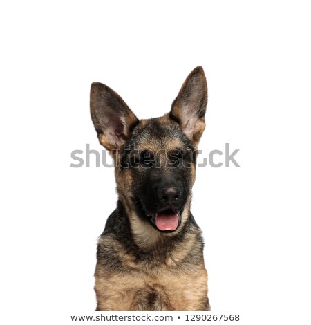 close up of funny german shepard panting with eyes closed stock photo © feedough