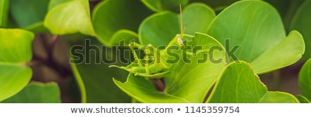 The green grasshopper on the green leaf disguised himself Stock photo © galitskaya