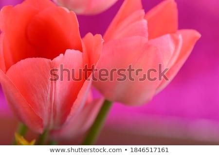 Tulipe macro coup rouge jaune Photo stock © fyletto