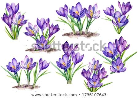 Roxo açafrão flores primavera prado Foto stock © manfredxy
