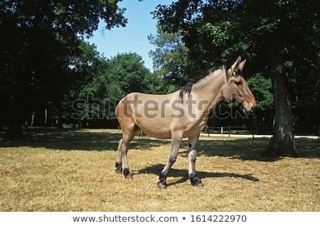 donkey, France Stock photo © phbcz