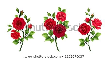 Virágzó rózsa fehér szeretet születésnap gyönyörű Stock fotó © gorgev