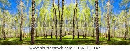 sky through birches stock photo © timbrk
