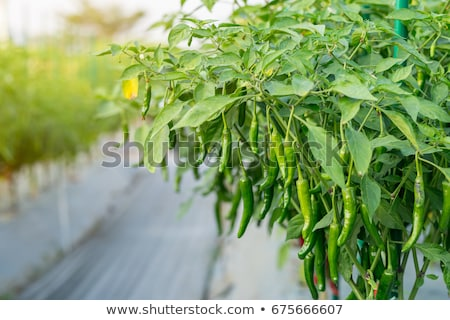 spicy red hot chilli pepper on tree in summer outdoor Stock photo © juniart