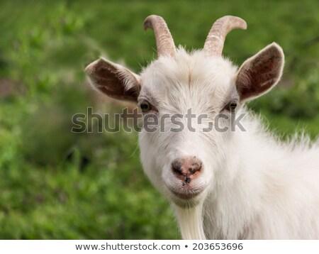 Genç beyaz keçi yeme çim Stok fotoğraf © ryhor
