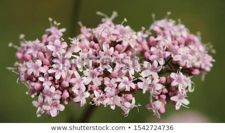 Virágzó virágok gyógynövény természet kert rózsaszín Stock fotó © TheFull360