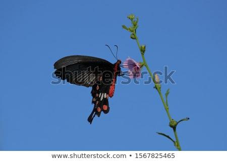 vôo · retrato · borboleta · espécies · família · jardim - foto stock © ivanhor