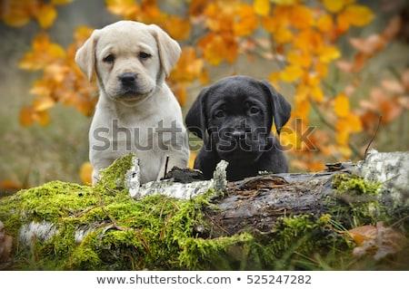 zwarte · labrador · puppy · spelen · buiten · water - stockfoto © JFJacobsz