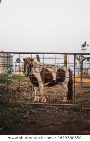 Stock photo: Brown And A White Pony Behind A Gate