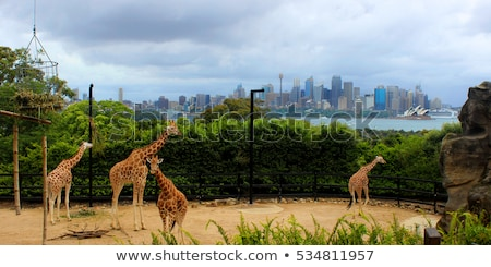 Giraffes at Zoo with a view of the skyline of Sydney in the back Stock photo © Mariusz_Prusaczyk