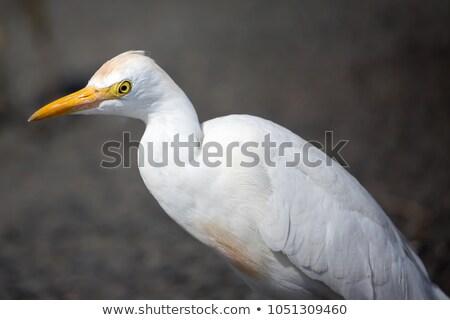 vee · vogels · permanente · moeras · weide · naar - stockfoto © cboswell